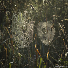 A web sight (zolaczakl ( 2 million views, thanks everyone)) Tags: bristol stokepark spidersweb web nature grass earlymorning earlymorninglight countryside 2016 august photographybyjeremyfennell nikond7100 sigma1835mmf18dchsmlens uk england southwest
