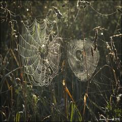 A web sight (zolaczakl ( 2 million views, thanks everyone)) Tags: bristol stokepark spidersweb web nature grass earlymorning earlymorninglight countryside 2016 august photographybyjeremyfennell nikond7100 sigma1835mmf18dchsmlens uk england southwest