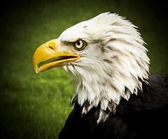 American Bald Eagle (Den Gilbert) Tags: eagles birdsofprey americanbaldeagle birds animals wildlife closeup