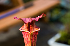 Carnivorous Plant (keran710) Tags: dc usa us washington carnivorous plant pflanze fleischfressend