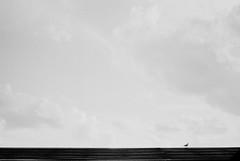 Voigtlander prominent ii 9_ (wallacephotography) Tags: voigtlanderprominentii 50mmf20 expiredfilm 35mmbulkloaded bulkfilm washingtondc blackandwhitephotography blackandwhite bokeh bw filmgrain portrait birds seaglebird seagle sky