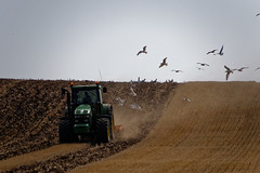 20160817_143738_DxO (SnapperNeil) Tags: ploughing tractor gulls