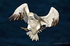 Gannet (Ross Forsyth - tigerfastimagery) Tags: scotland wildlife seabird gannet northerngannet cliffs wings feather landing extended trouphead rspb naturereserve moray morayshire coast nature fantasticwildlife animalplanet