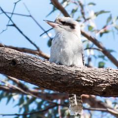 Kookaburra sits in the old gum tree (Merrillie) Tags: wildlife nsw woywoy animals nikon centralcoastnsw kookaburra nature photography birds athome d5500 nswcentralcoast centralcoast newsouthwales australia