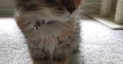 Newest family addition. Luna the Siberian Kitten via http://ift.tt/29KELz0 (dozhub) Tags: cat kitty kitten cute funny aww adorable cats