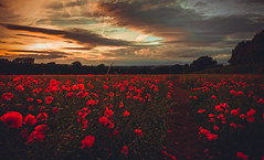 Poppy Path (spiderstreaky) Tags: england beautiful poppies pollen blur vivid light delicate countryside cotswold colourful natural walking footpath blooming blue sun nikon green horizon bigsky glow british sky farm delightful fields field sunshine lights track flower path bright petals red sundown cotswolds flowers golden warm evening nature lightroom season goldenhour passion sunset beauty oxfordshire line wildlife abstract fresh poppy clouds