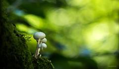 Pilze - Baumpilze 1 (Pana53) Tags: photographedbypana53 pana53 pilze giftpilze baumpilze mushrooms naturundlandschaftsfotografie naturfoto flora outdoor schneverdingen wald zerfall nikon nikond810
