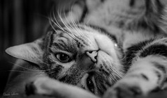 Chat surpris (xpressx) Tags: photographe blanc pets bw passionphotonikon noir xpressx nikonadicted pet wb noiretblanc d7100 exposure catastrophe bn nikon nikond7100 nikkor lightroom white chat