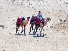 Camels at the Giza Pyramid Party. Great Pyramid of Giza Egypt (Travel to Eat) Tags: camels egypt giza pyramids desert
