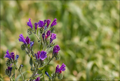 Viper's-bugloss (kimbenson45) Tags: pink flowers blue plants green
