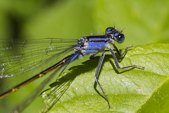 Blue is Nice (jozef_filo) Tags: flowers blue yellow dragonfly clematis bugs