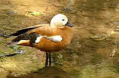 Duck species (henk.wallays) Tags: macro bird nature birds closeup europa belgium wildlife ardennen natuur aves location 1999 date vogel oiseaux aaaa vertebrate chordata vertebrata parcparadisio gewervelden henkwallays avesspecies