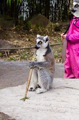 Ring-Tailed Lemur (Mathias Appel) Tags: tree cute feet animal animals female fur zoo eyes hands nikon bokeh adorable ring 300mm lemur augen madagascar baum fell tailed tier hände niedlich katta catta weiblich madagaskar süs tierpart füse d7000