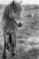 http://www.saatchiart.com/art/Photography-A-beautiful-horse-from-Iceland/783388/2485332/view (Dóra B.) Tags: life horse cute nature beautiful weather animal outside outdoors iceland nice good earth calm lovely akureyri icelandic dorabirgis