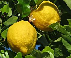 Don't Be A Lemon! ('cosmicgirl1960' NEW CANON CAMERA) Tags: travel flowers white green nature yellow gardens fruit spain holidays lemons espana costadelsol citrus andalusia marbella yabbadabbadoo worldflowers