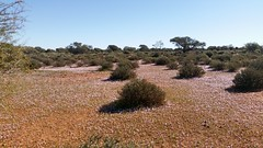 wildflowers (ClareSnow) Tags: winter flower cue australia mauve outback wildflowers arid reddirt lakesideroad mulgacountry mulgascrub