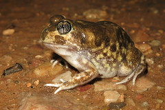 Painted Trilling Frog (Neobatrachus pictus) (Heleioporus) Tags: painted south australia frog southern ranges flinders trilling pictus neobatrachus