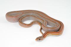 ElPavoLoco-7-19-2016 (herpsofnm) Tags: corn miami snake pinstripe motley cornsnake