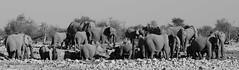 Etosha National Park (silviasalvi) Tags: africa bw nature monochrome elephants namibia savana elefanti