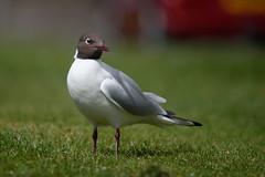 Brown-headed Gull (Chroicocephalus brunnicephalus) (Jan Ranson) Tags: scotland 2016 kokmeeuw brownheadedgull chroicocephalusbrunnicephalus