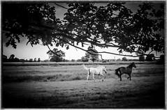 Pferde1 (livifee) Tags: sommer pferde horse laufen wiese schwarz weiss bw run weisses perd