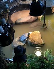 IMG_1765 (jalexartis) Tags: bask basking baskingstone baskingrock aquatic aquatichabitat aquarium abovetanknetting turtlesecurity fallsafe lighting perspective jalexartis