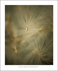 Gone to Seed (shaun.argent) Tags: flora nature seeds thiistle shaunargent seasons summer flowers garden