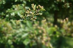 Espino albar (Jusotil_1943) Tags: desenfoque selectivo verde green semillas