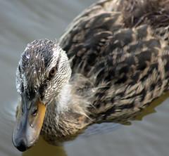 A Little Fuzzy and a Little Wet 07112016 (Orange Barn) Tags: duck mallard feathers water pekinillinois pekinparkdistrict mineralspringspark molt duckling bill