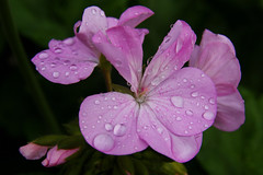 On a rainy morning (Steenjep) Tags: flower macro closeup blomst rain regn drbe drop water vand lyserd pink maverickquicksilver geranium