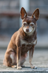 0G4H6259 (sswee38823) Tags: canonef135mmf2lusm brownie brown dog chihuahua canon canoneos1dsmarkiii photography photograph photo seansweeney