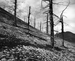 dead forest (ignatenkom) Tags: kamchatka bronica 6x7 across tree forest landscape bw