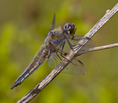 Four - spotted Chaser Libellula quadrimaculata (Ivan Lynas Nature Photography) Tags: