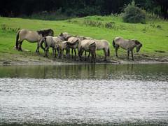 Herd of Koniks in the floodplains (Beyond the grave) Tags: gelderland netherlands horses konikhorses floodplains landscape