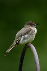 Eastern Phoebe (SaunTek) Tags: nature phoebe eastern wildlife