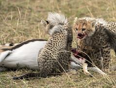 Cheetah Cub with Bloody Face having a Break from Feeding on a Gazelle Kill (John Hallam Images) Tags: cheetah cubs cheetahcubs bloody face break feeding gazelle kill mara masaimara kenya safari