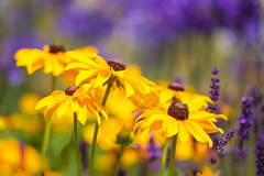 Summer Days (paulapics2) Tags: bokeh colourful cheerful nature garden summer hydehallgardens rudbekia blackeyedsusan lavender purple blue yellow sunshine canoneos5diii sigma105mm floral flora blumen fleurs petals coneflowers heliantheae wow