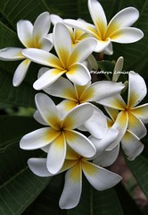 In Franklin's tower the four winds sleep (Kathryn Louise18) Tags: noid white plumeria frangipani hawaii florida flower garden tropical macro tree petals gratefuldead roberthunterlyrics plant outdoor canon inflorescence nature