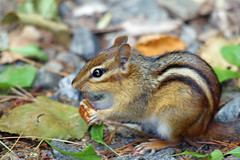 chippy (CCphotoworks) Tags: chipmunk mammals small animals critters nature wildlife outdoors ccphotoworks