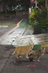 DSC06661 (C*A(t)) Tags: cat straycat street streetcat streetphotography streetphoto nightmarcat night