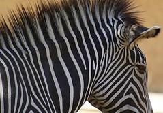 LA Zebra (Robert Borden) Tags: zebra stripes african northamerica usa westcoast california griffithpark lazoo losangeles la zoo outside outdoors canon travel