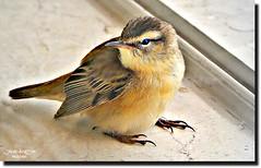 A BIRD IN MY BALCONY (jawadn_99) Tags: black bird art birds yellow fauna photography this fly amazing shot explore 40faves