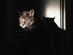 Jeff (BurlapZack) Tags: olympusomdem5 olympusmzuiko45mmf18 vscofilm pack06 cat kitty jeffreyjinkins sunlight shadow catnoir meow home house afternoon goldeneye wildanimal whiskers tygertygerburningbright fearfulsymmetry predator gato lurk catcreep bokeh portrait feline microfourthirds