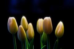 Tulip Glow (Brian 104) Tags: flowers tulips onblack fractalblend