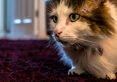 Tilly the 3-legged cat (Up Close) (Panasonic LX100) (markdbaynham) Tags: leica pet cute cat lens lumix feline zoom panasonic ft tilly 43rd compact 3legged lx pany evf fourthird lx100 2475mm f1728