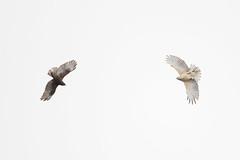 Hawaiian Hawk ('Io) - Hawaii (Geoff Malosh) Tags: hawaii unitedstates adult hawk pair flight io hawaiian bigisland hilo darkmorph hawaiianhawk lightmorph