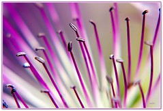 Fiore di cappero (Schano) Tags: flower macro up mediterraneo close natura fiore stame floramediterranea piantaspontanea naturamediterranea ilce3000 sonyilce3000 sonyemount55210 sony3000