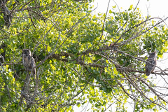 Great Horned Owl parents keep watch