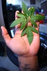 IMG_9370 (aaron_boost) Tags: hawaii oahu flowering honolulu marijuana veg hemp molokai preflower medicalmarijuana canabis konagold aaronboost