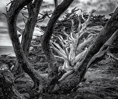 Dead Cypress (JBRazza Photography) Tags: tree cypress california pointlobos ocean sky razza jbrazza johnrazza